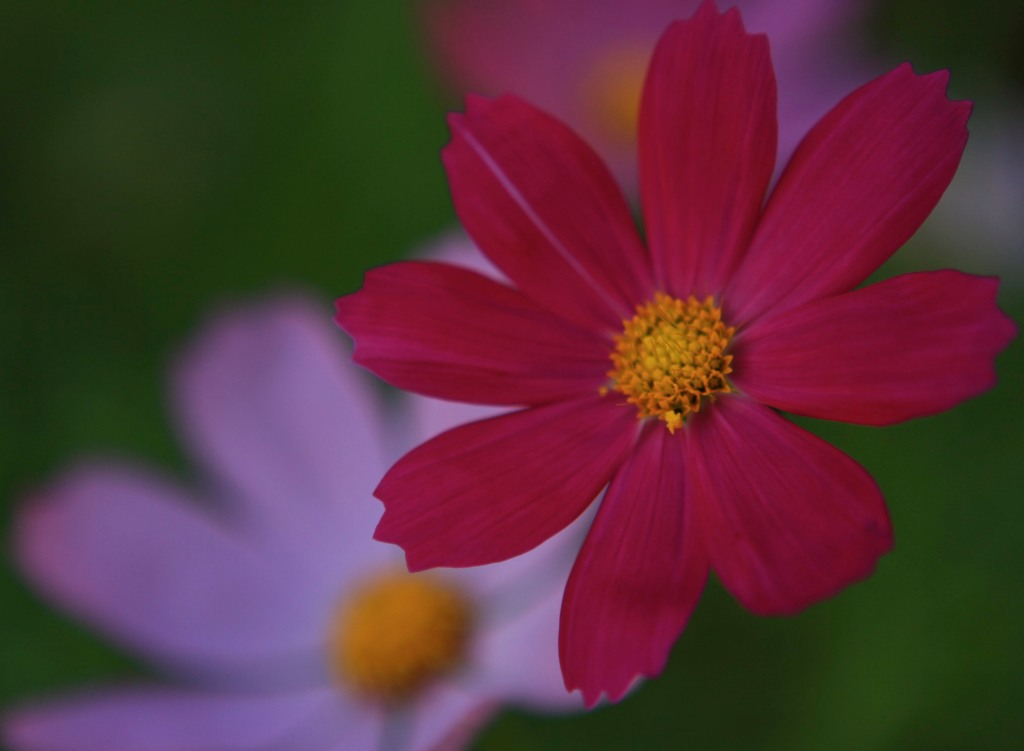 pink daisy by mm